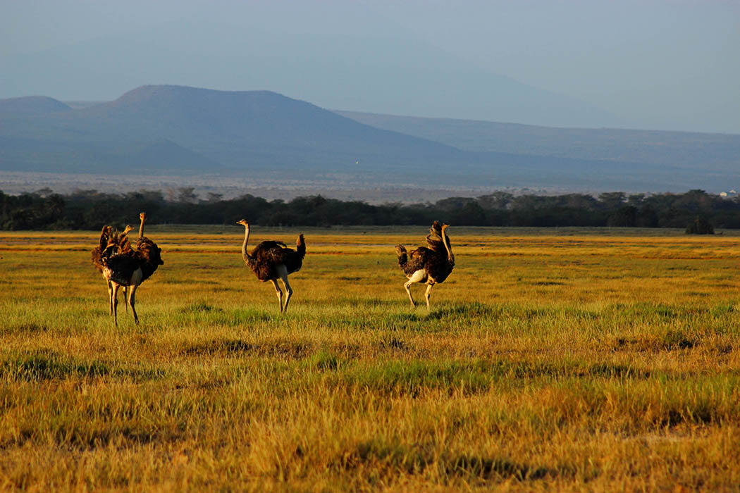 Amboseli National Park Ostriches 1