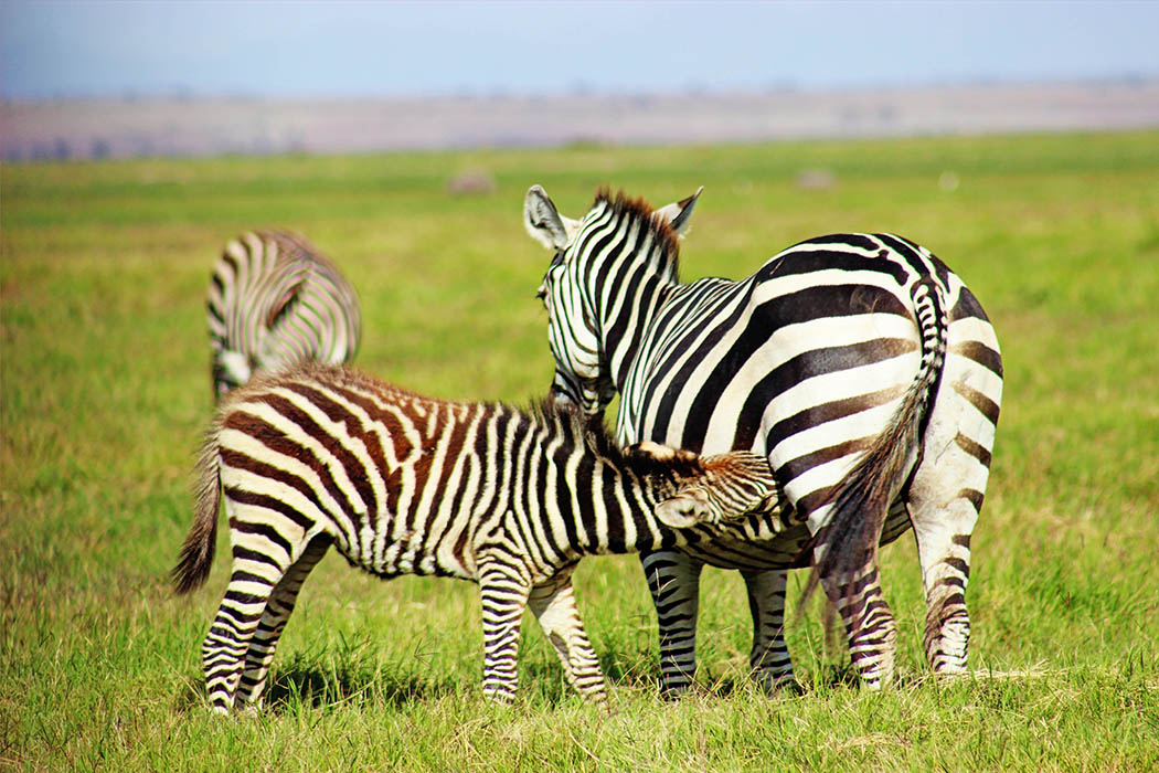 Amboseli National Park Zebra with calf