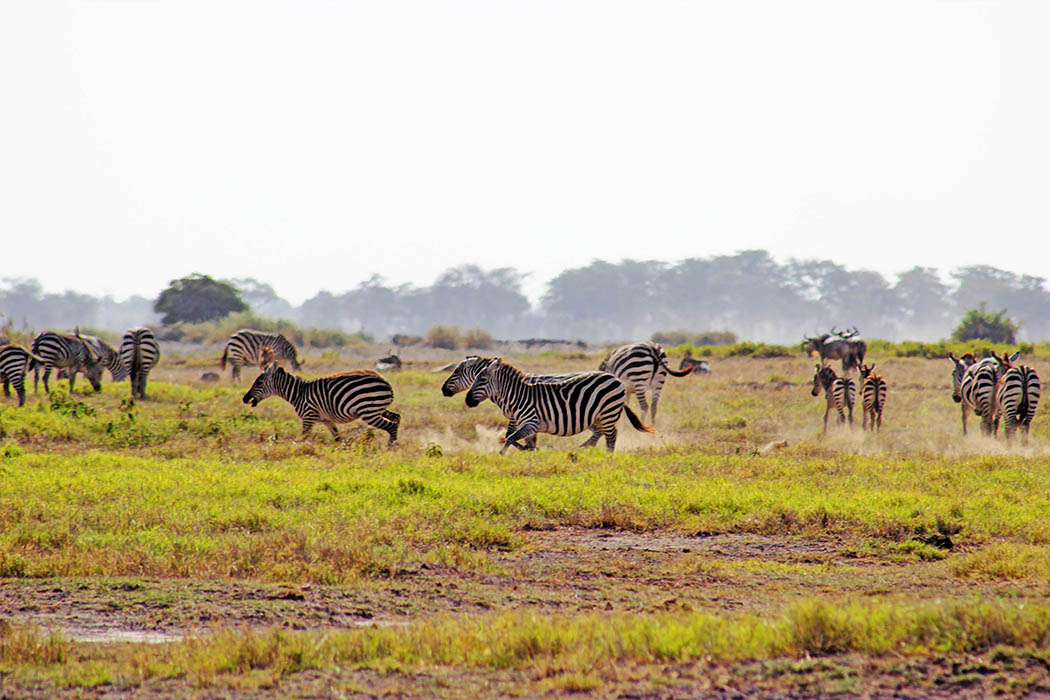 Amboseli National Park Zebras