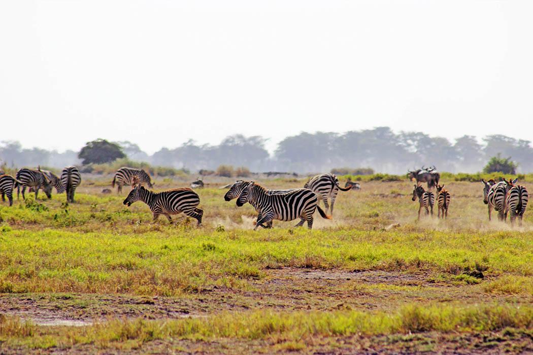 Amboseli National Park Zebras