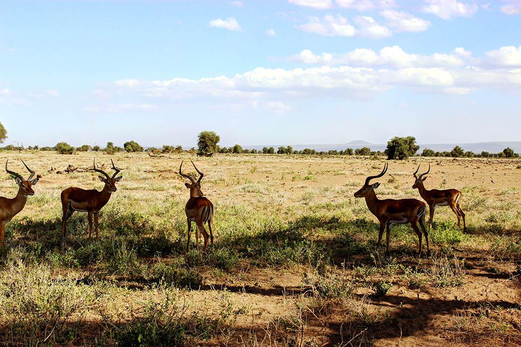 Amboseli National Park bachelor herd