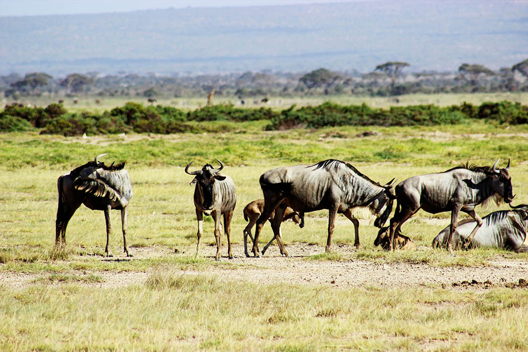 Amboseli National Park_Gnu herd