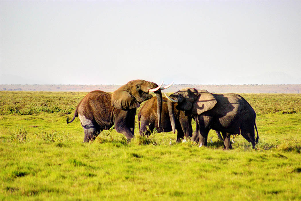 Elephants of Amboseli bulls fighting1