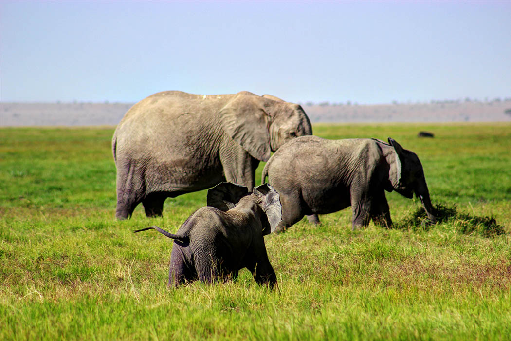 Elephants of Amboseli calf running