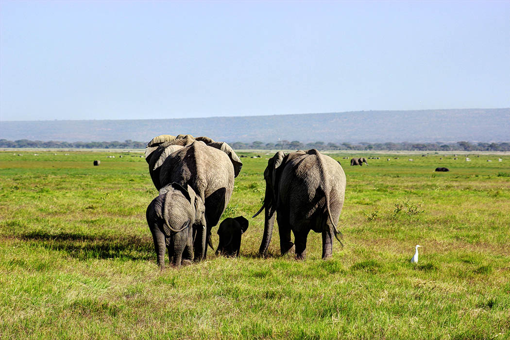 Elephants of Amboseli family