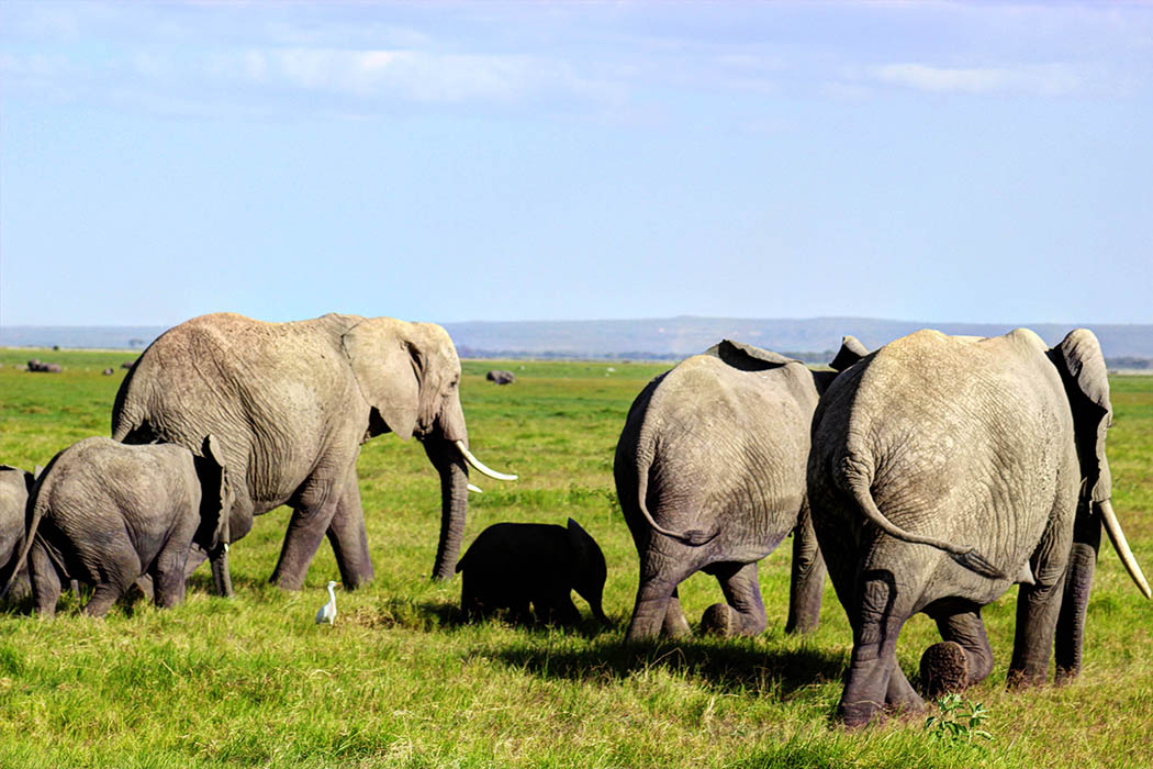 Elephants of Amboseli family1