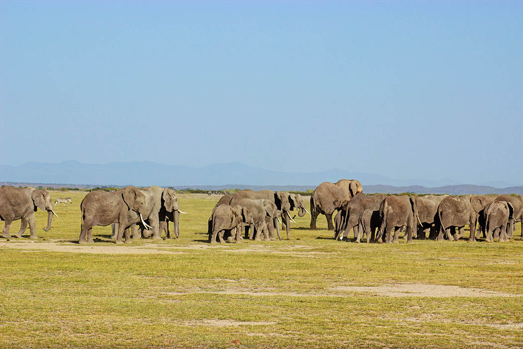 Elephants of Amboseli herd