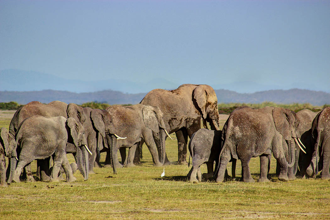 Elephants of Amboseli herd1