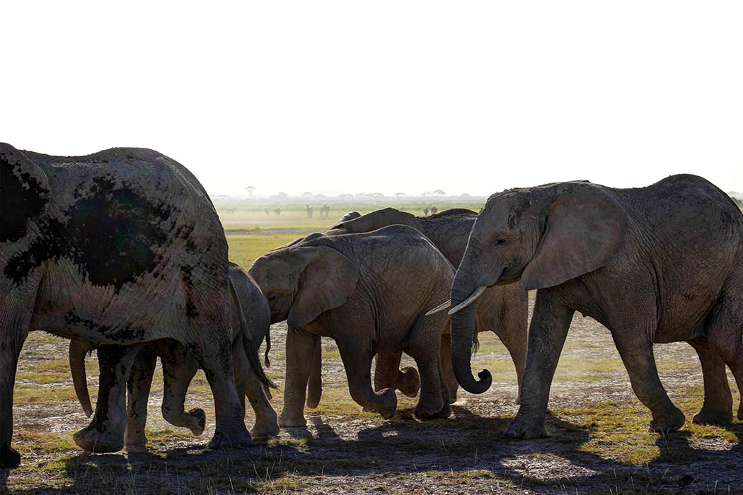 Elephants of Amboseli juveniles