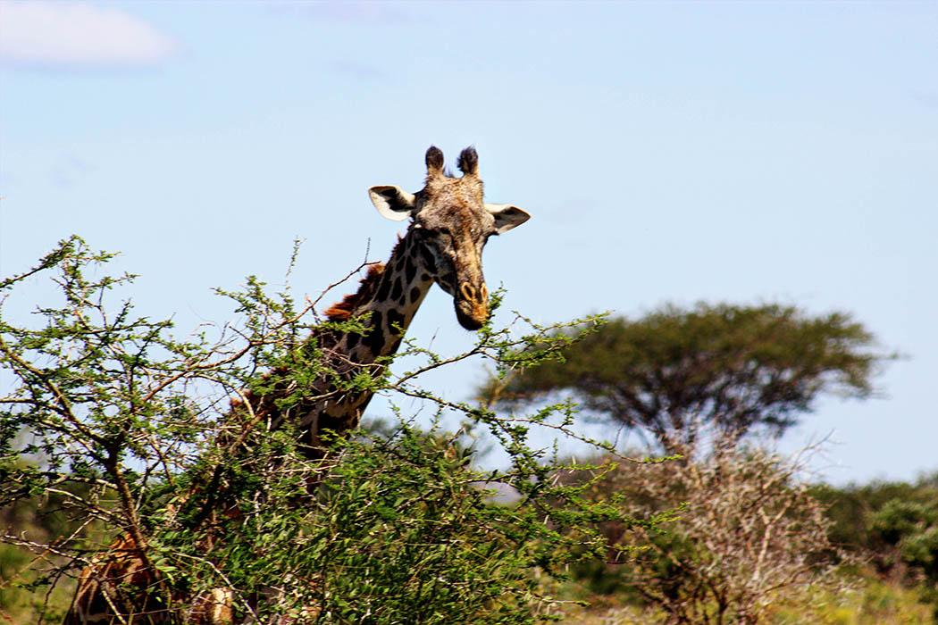 Tsavo West National Park_Giraffe feeding
