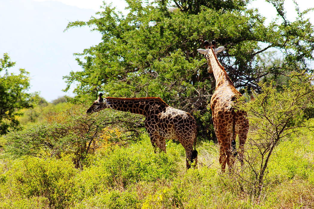 Tsavo West National Park_Giraffe pair