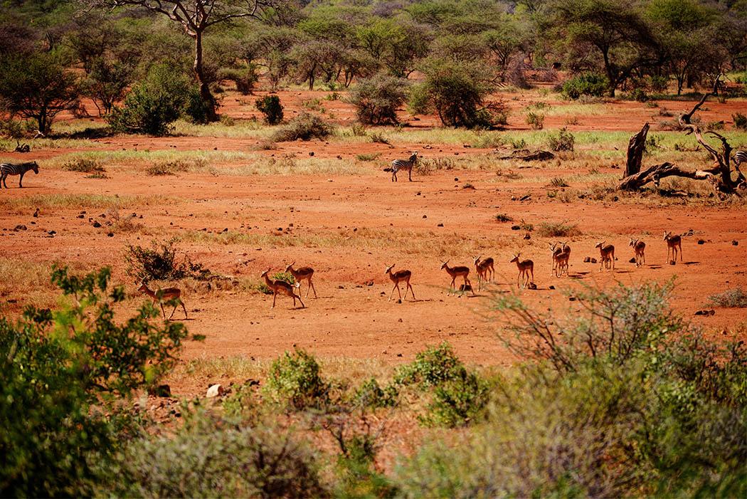 Tsavo West National Park_Impala walking