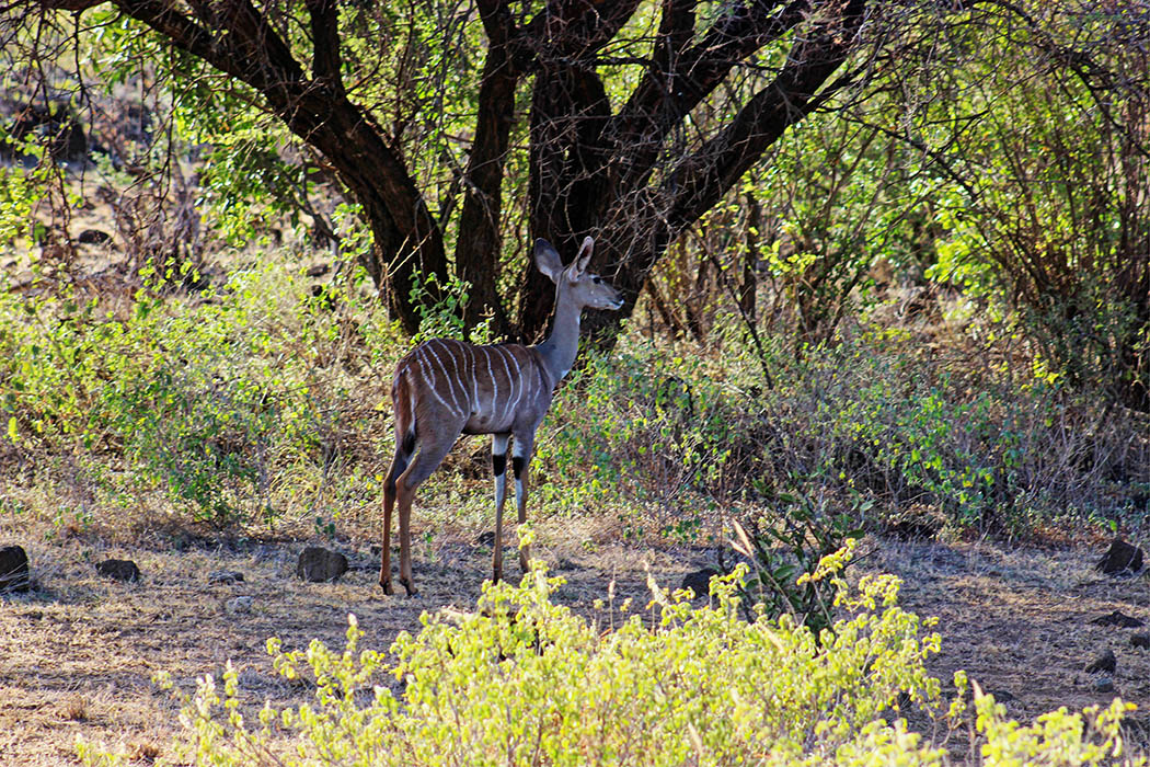 Tsavo West National Park_Lesser Kudu