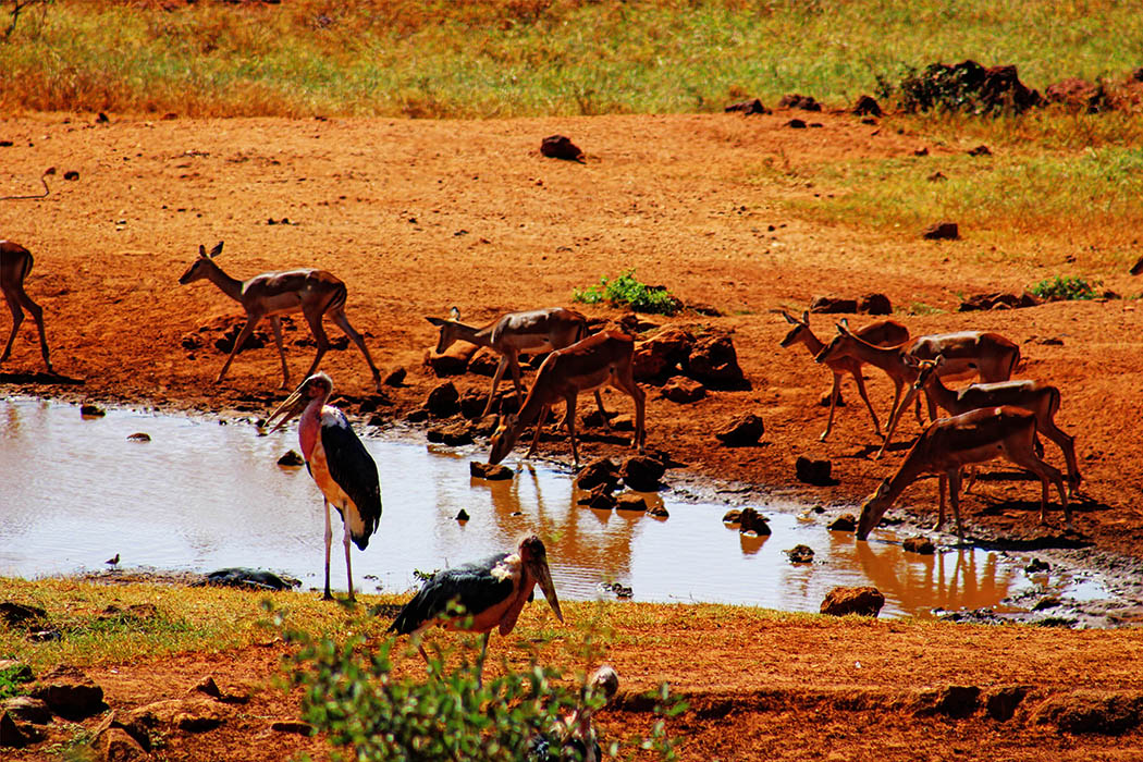 Tsavo West National Park_impala_