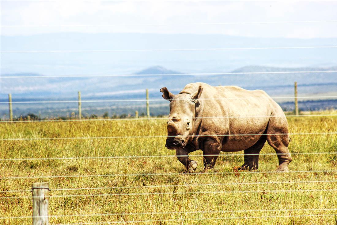 Ol Pejeta Conservancy_white rhino1