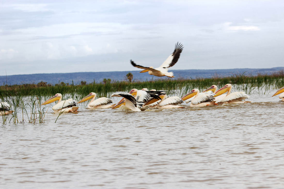 Lake Turkana_Pink backed pelicans
