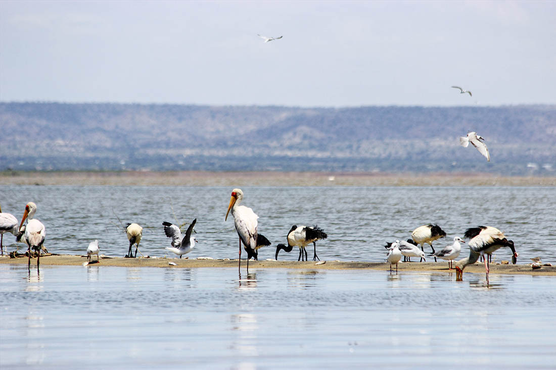 Lake Turkana_Yellow-billed storks