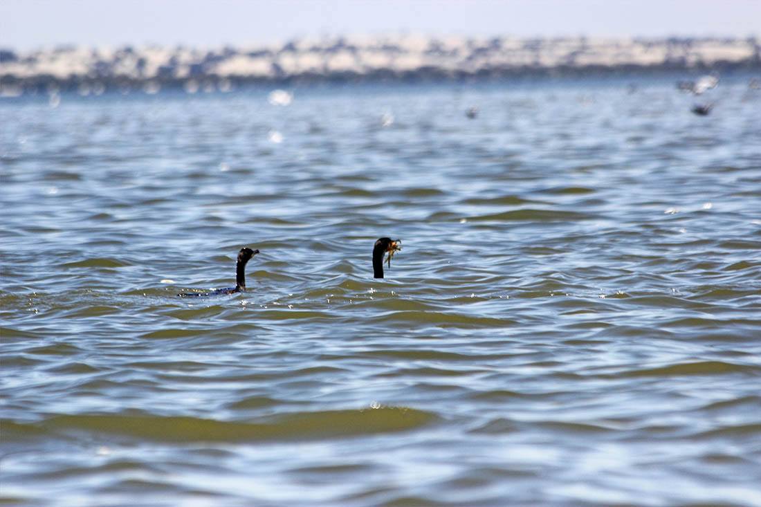 Lake Turkana_cormorant (2)