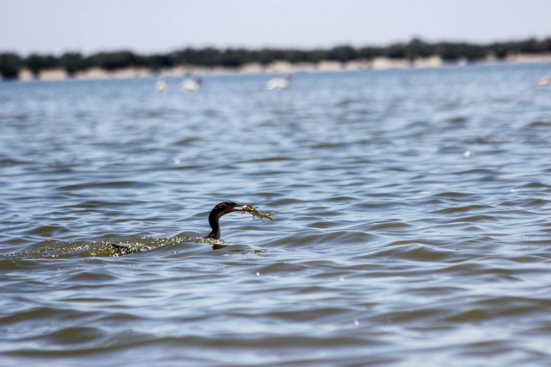 Lake Turkana_cormorant 3