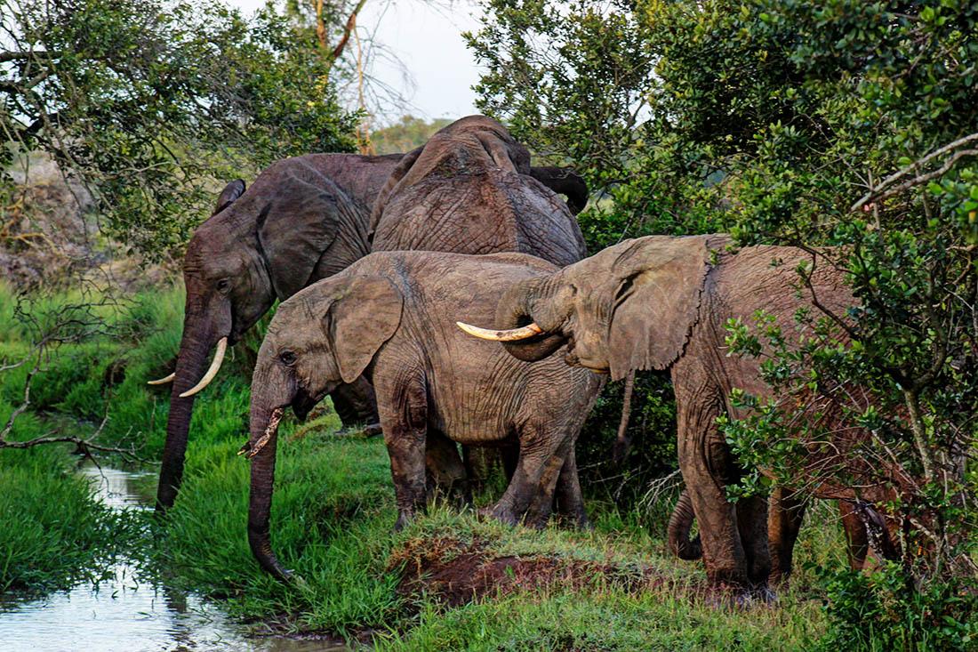 Ol Pejeta Conservancy_elephants drinking