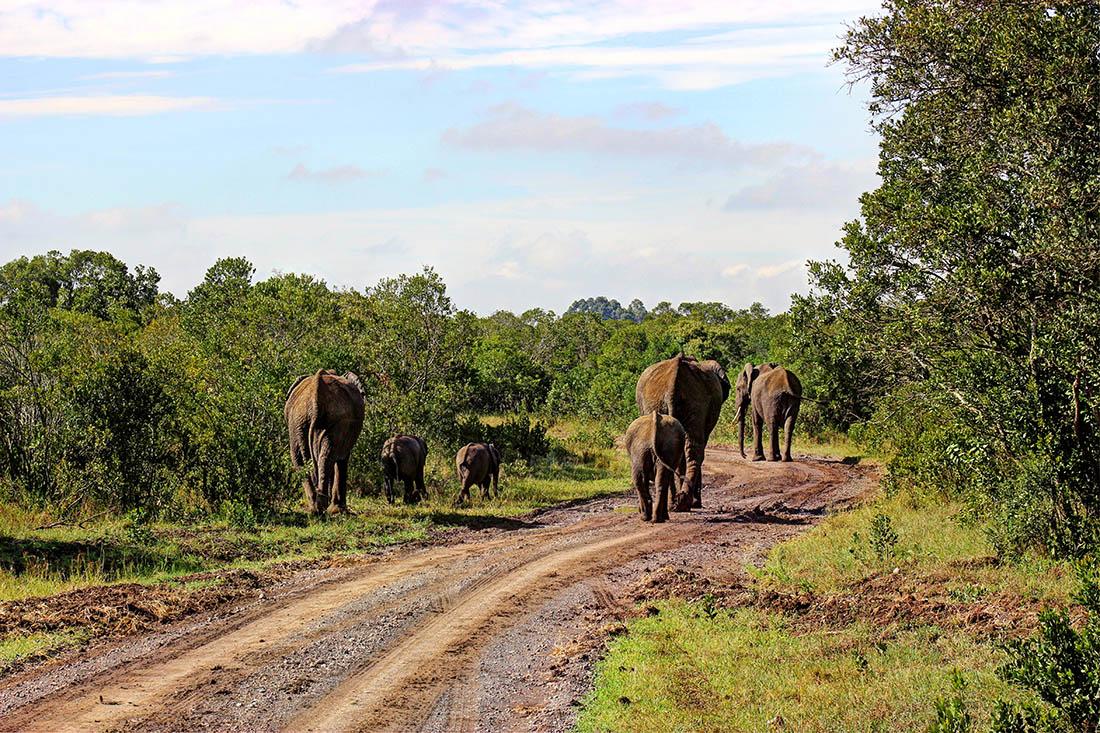 Ol Pejeta Conservancy_elephants on road1