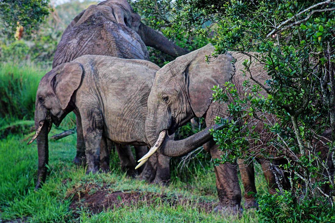 Ol Pejeta Conservancy_elephants