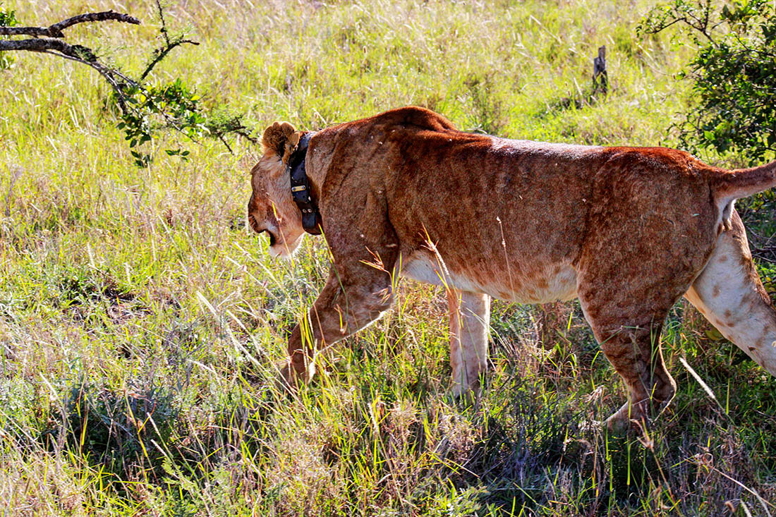 Ol Pejeta Conservancy_lioness