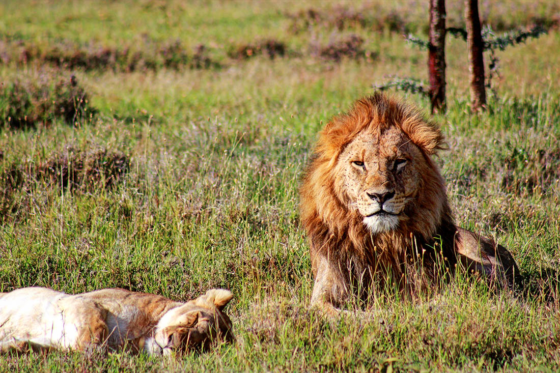 Ol Pejeta Conservancy_mating lions2