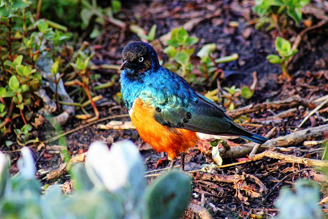 Ol Pejeta Conservancy_superb starling