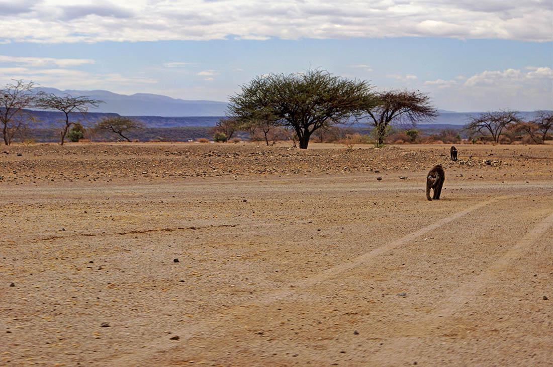 Lake Magadi_baboons
