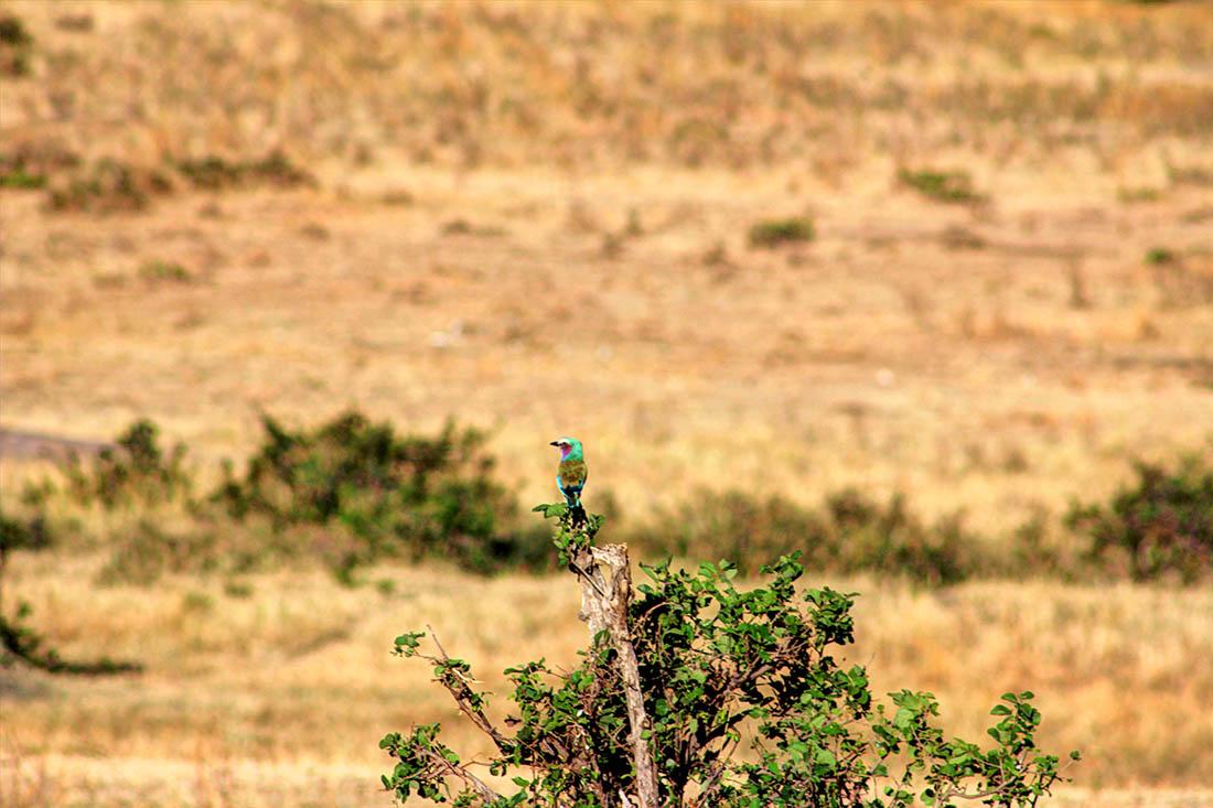 Maasai Mara_Bird