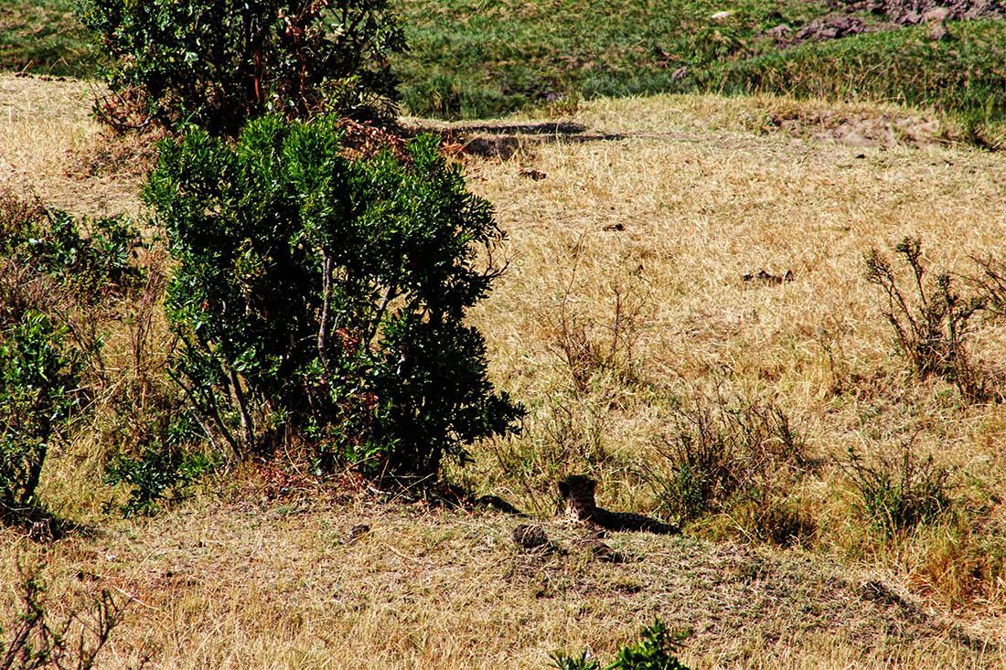 Maasai Mara_Cheetah1