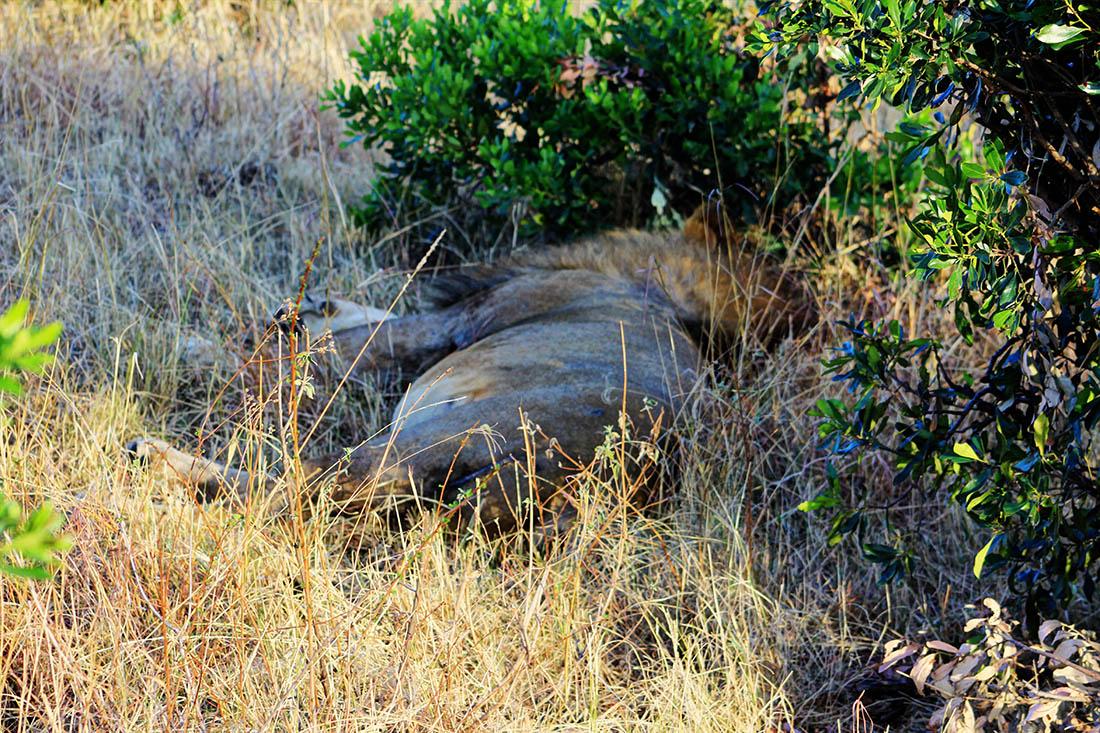 Maasai Mara_Lion