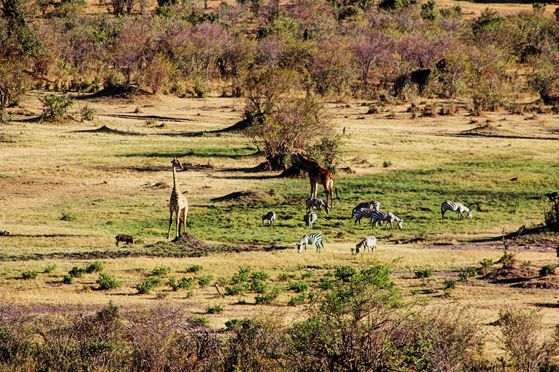 Maasai Mara_Zebras