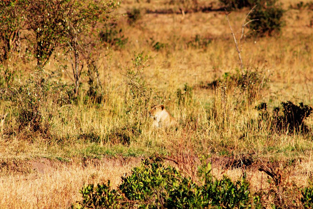 Maasai Mara_lioness