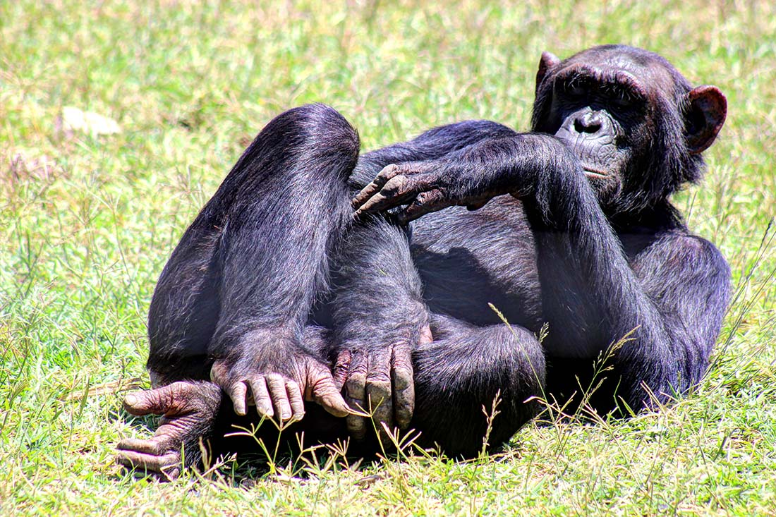 Sweetwaters Chimpanzee Sanctuary_Mary