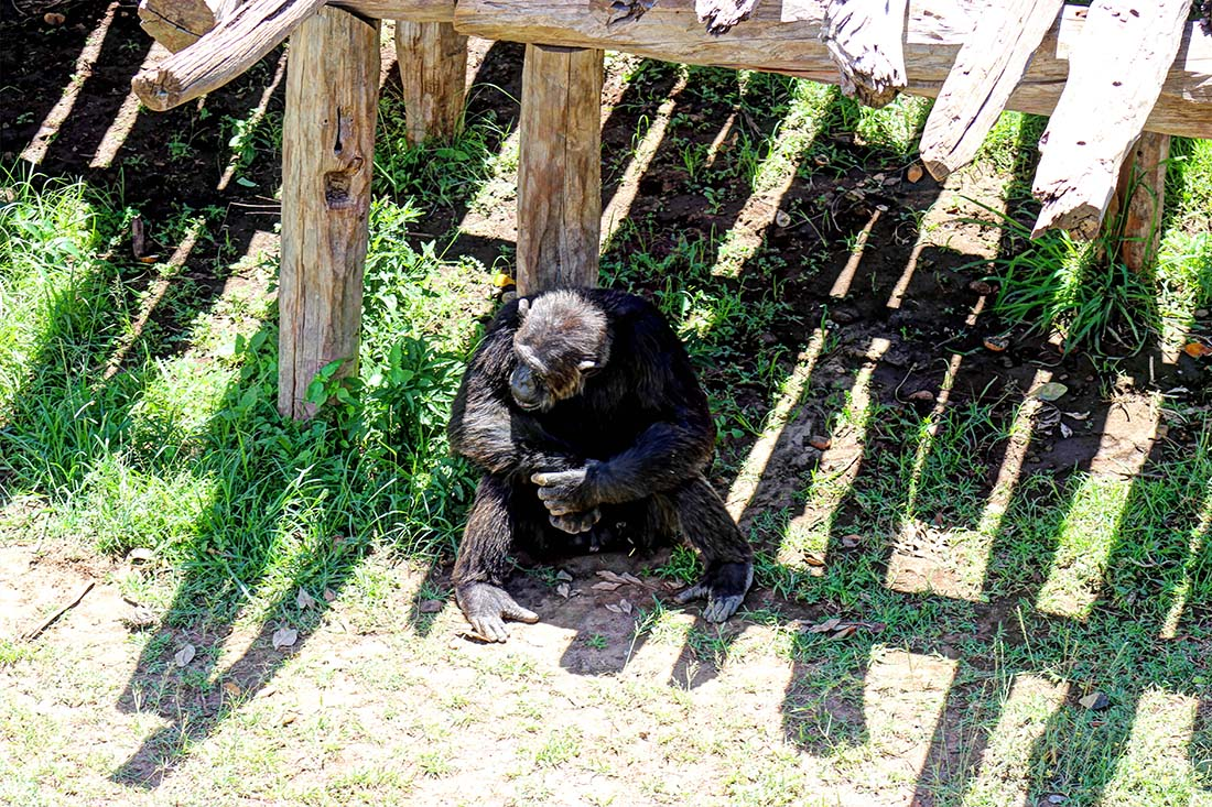 Sweetwaters Chimpanzee Sanctuary_Oscar