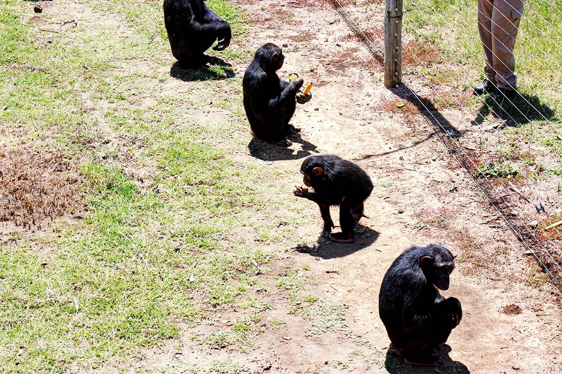 Sweetwaters Chimpanzee Sanctuary_feeding group 5