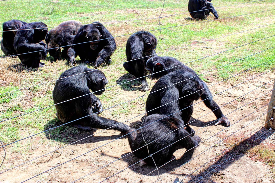 Sweetwaters Chimpanzee Sanctuary_feeding group