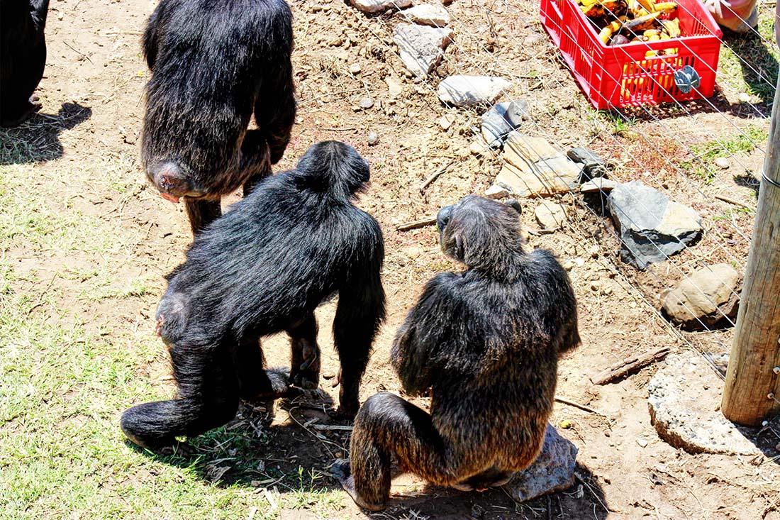 Sweetwaters Chimpanzee Sanctuary_feeding