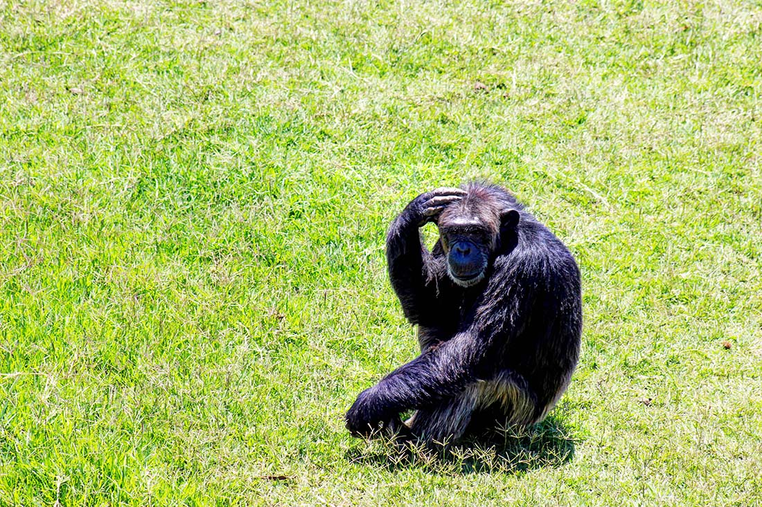 Sweetwaters Chimpanzee Sanctuary_scratching head