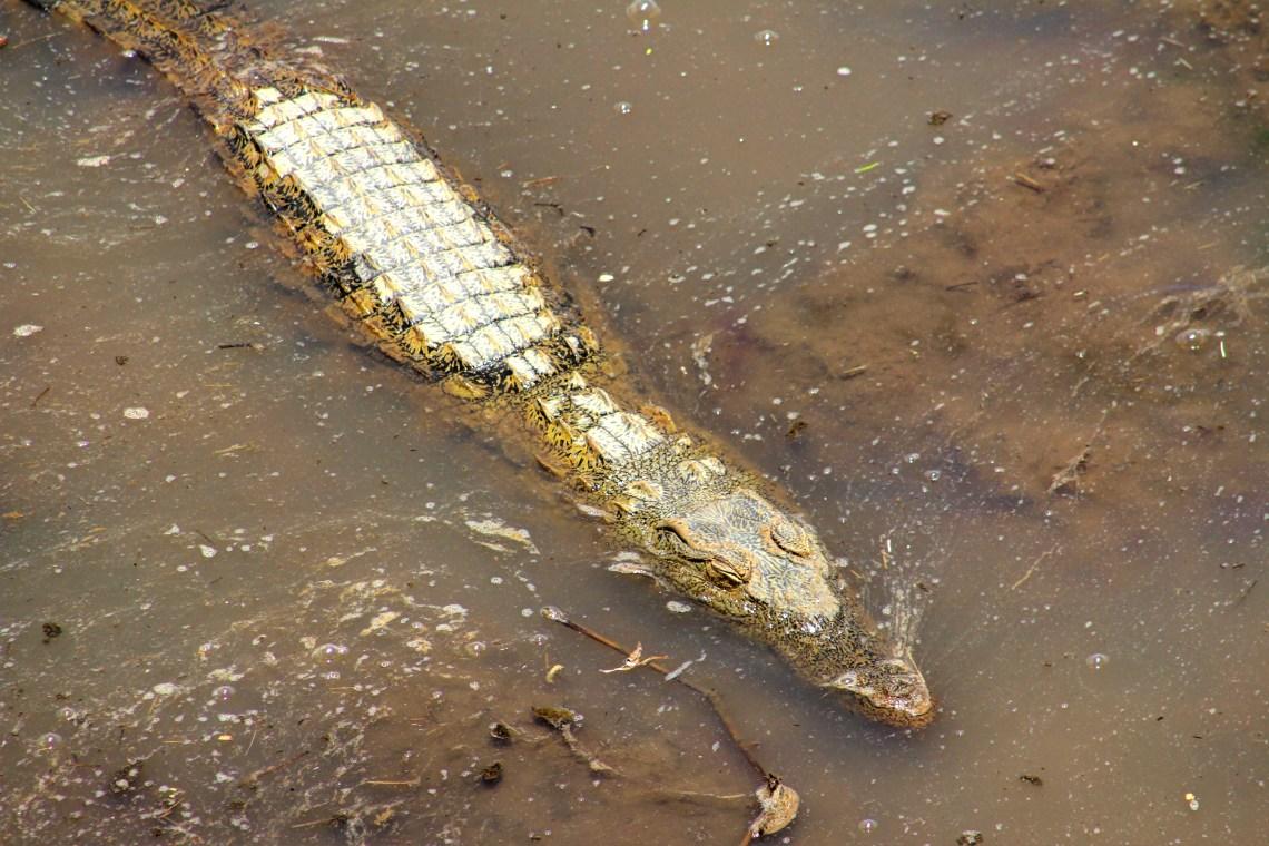 Maasai Mara_Crocodile
