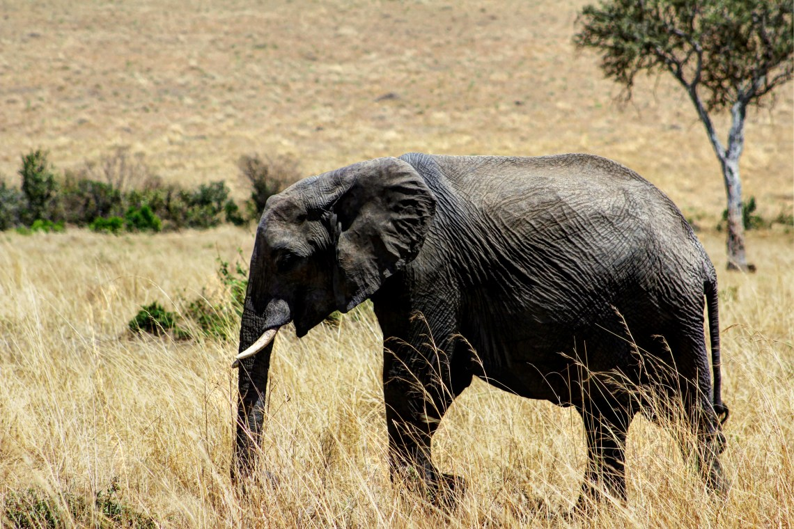 Maasai Mara_Elephant