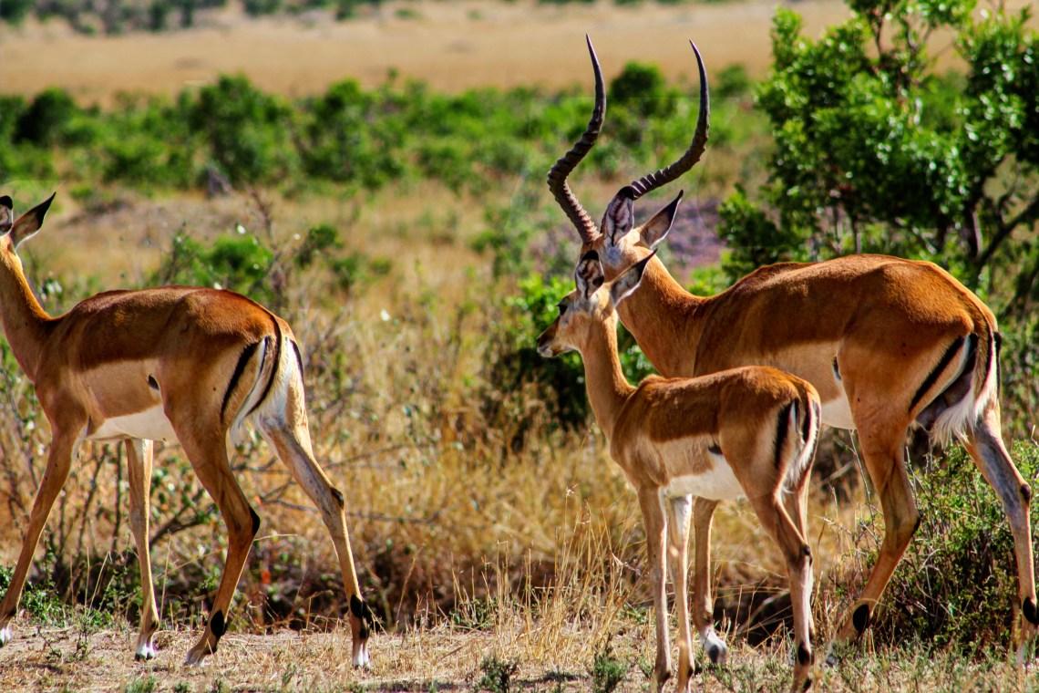 Maasai Mara_Impala (2)