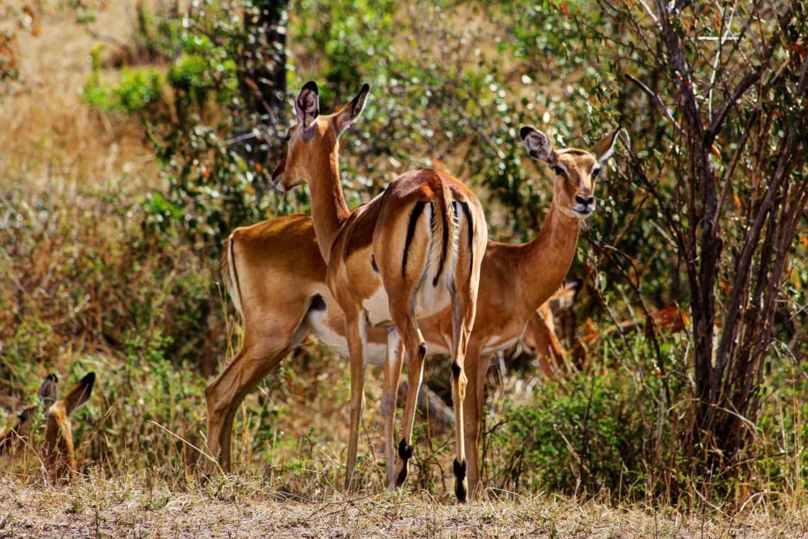 Maasai Mara_Impala