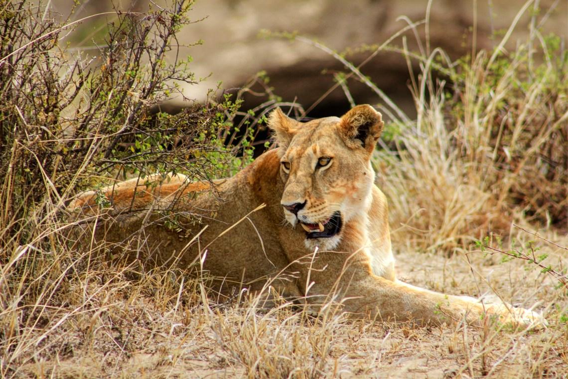 Maasai Mara_Lioness2