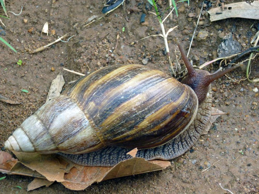 Mount Mulanje_snail