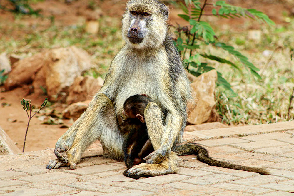 sarova-salt-lick-game-lodge_female-baboon