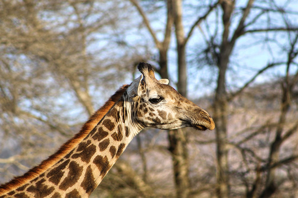 taita-hills-game-reserve_giraffe2