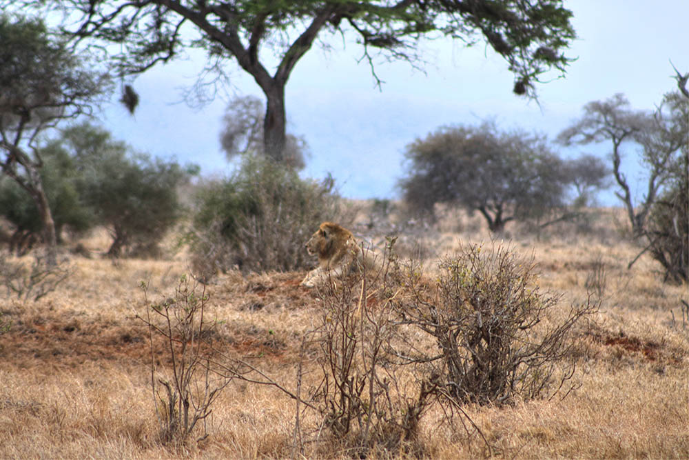 taita-hills-game-reserve_lion-2